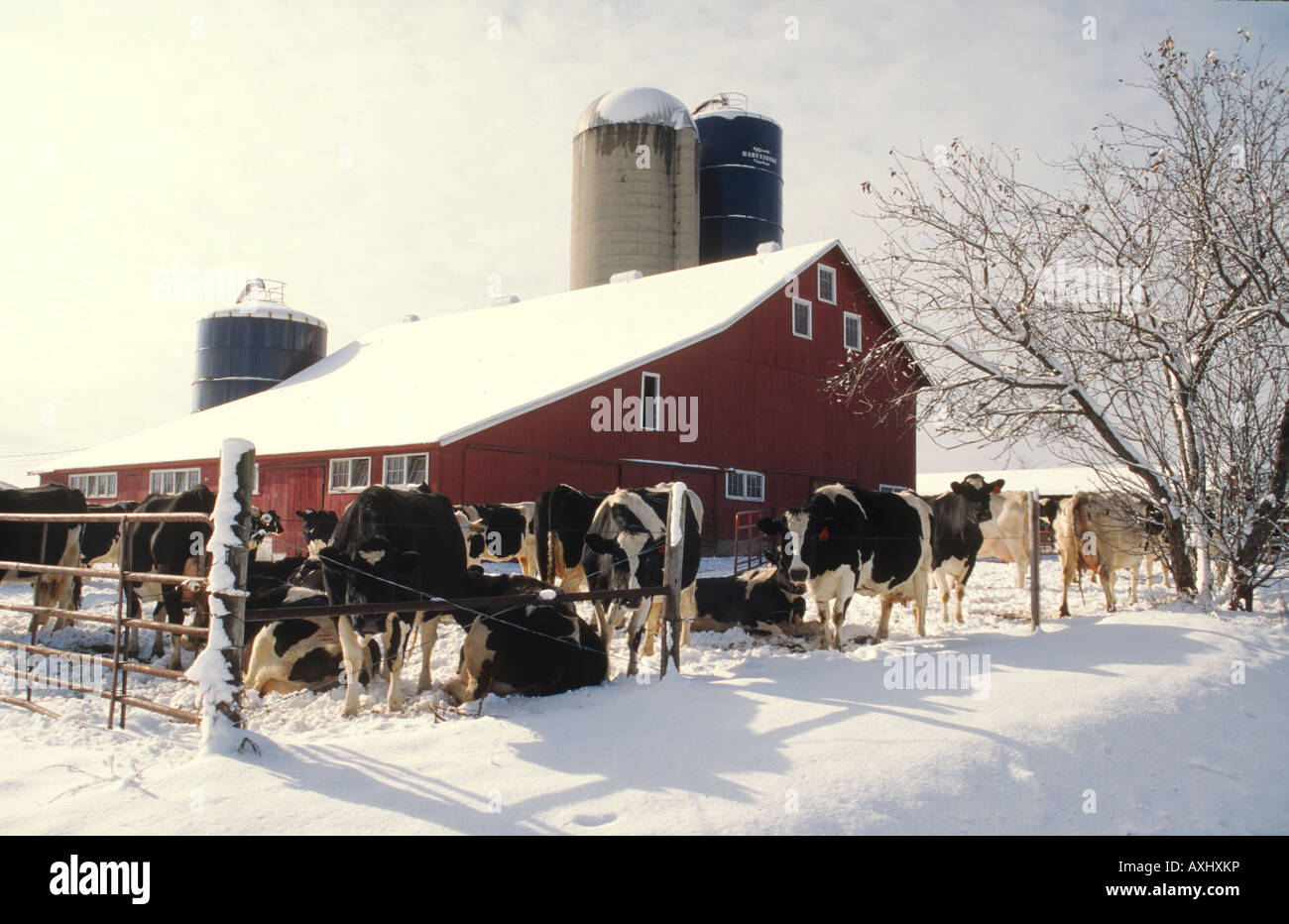 Cow on green pasture with red barn with grain silo royalty free stock - Wisconsin Kenosha County Dairy Cows Standing By Fence Red Barn And Silo Snow On Ground Sunny