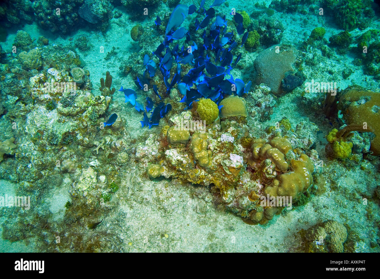 School of blue tang fish and one parrotfish near coral for Caribbean reef fish