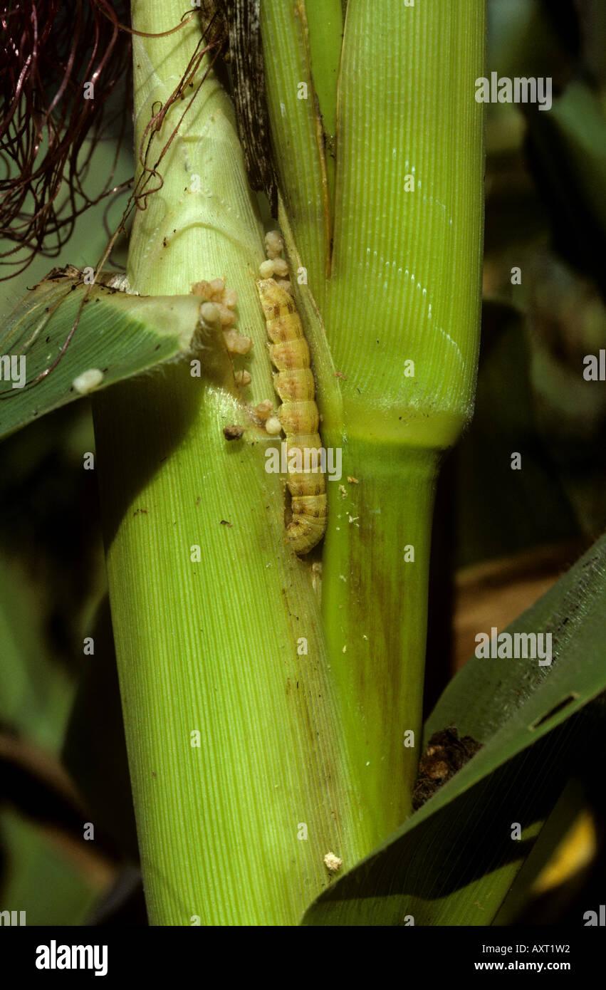 Corn Earworm Stock Photos \u0026 Corn Earworm Stock Images - Alamy
