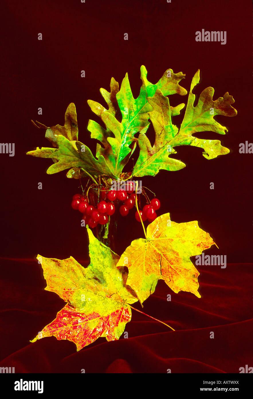 Maple Oak Leaves Fall Autumn