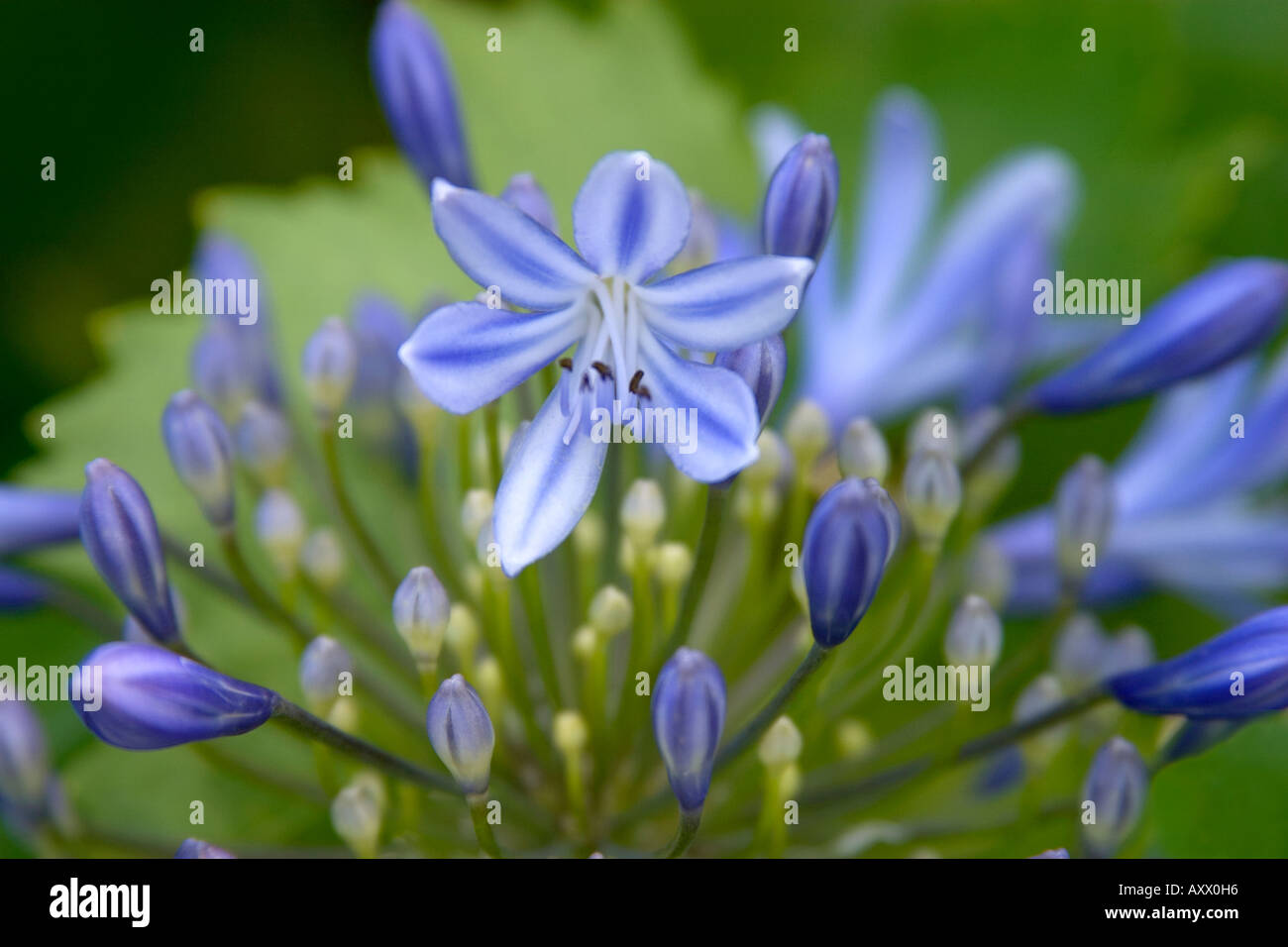 Agapanthus lily of the nile flowers close up stock photo 9673237 agapanthus lily of the nile flowers close up izmirmasajfo Images