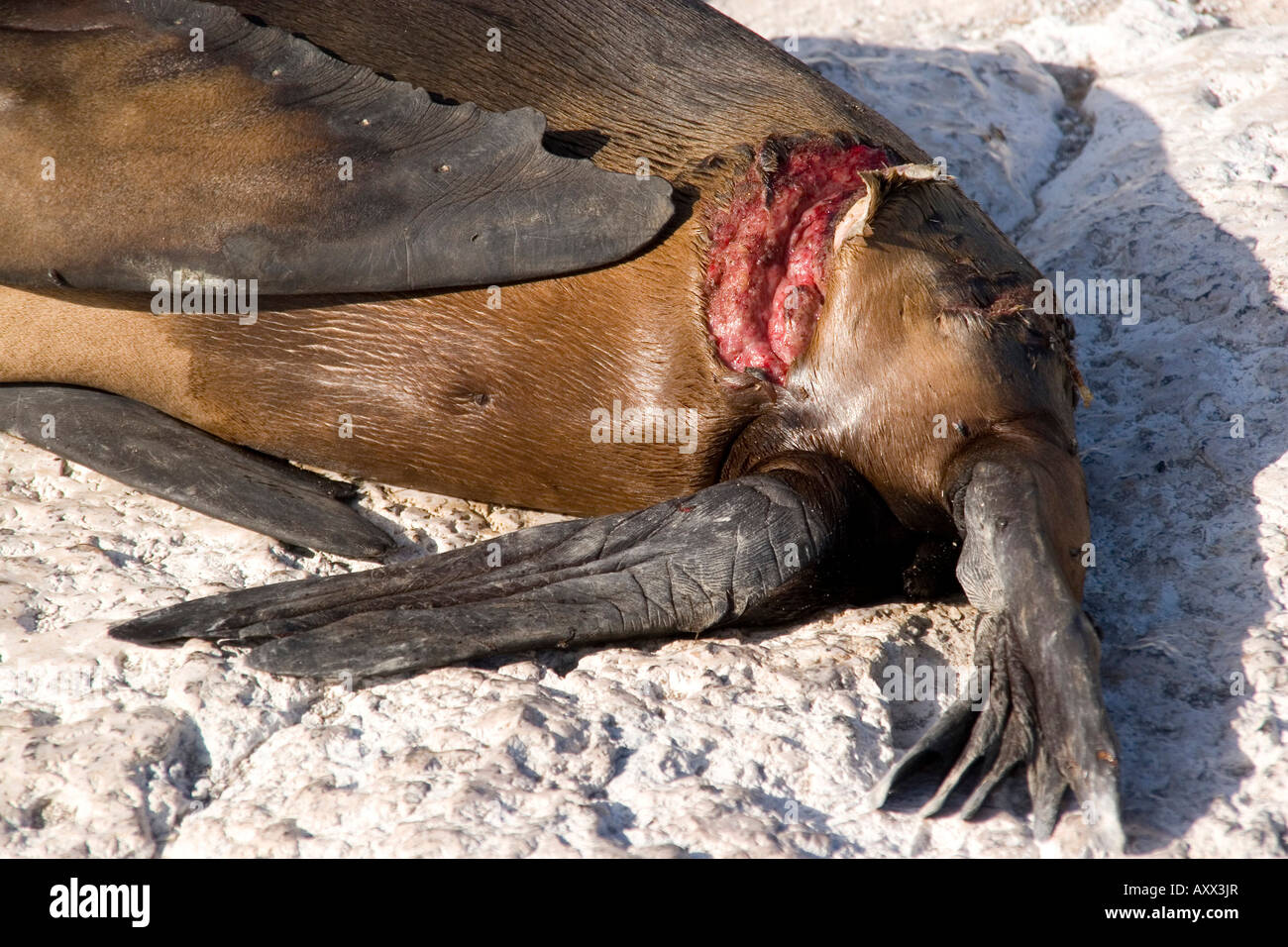 Galapagos Sea Lion show wound from orca attack Stock Photo ...