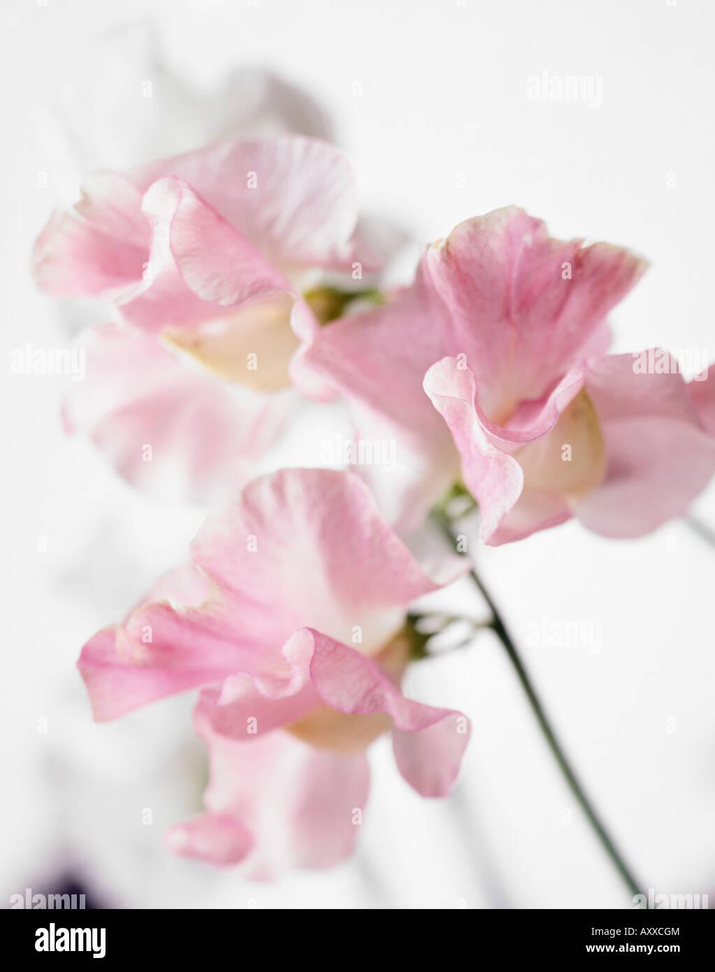 Sweet Pea Sweetpea Lathyrus Odoratus Pink Flowers