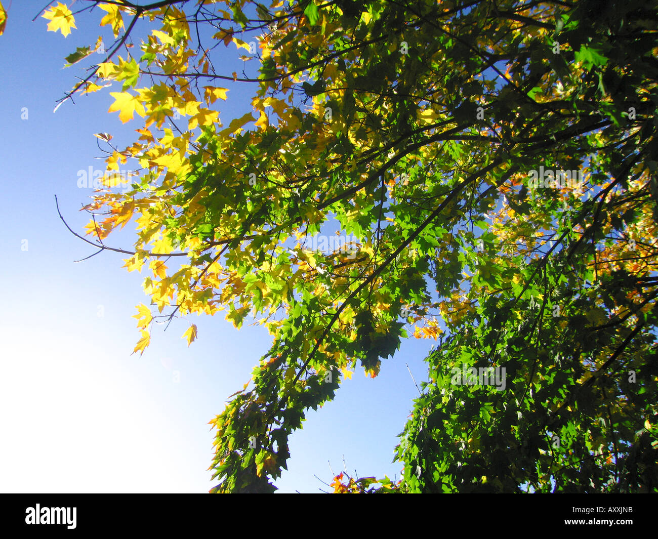 leaves on tree at start of autumn beginning to change colour stock