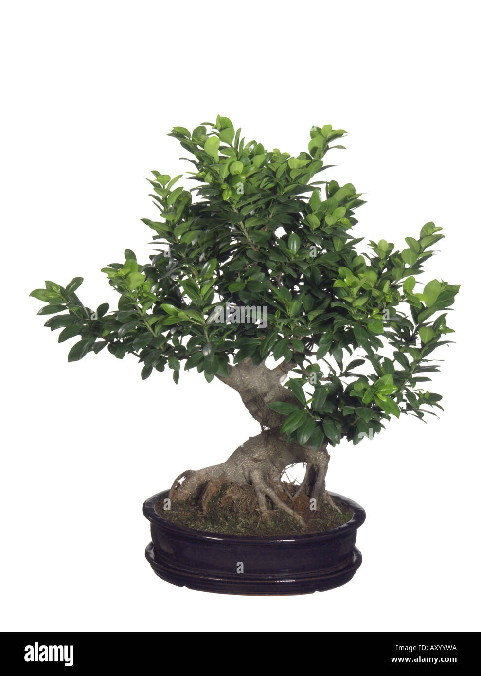 laurel fig ficus retusa ficus ginseng bonsai stock. Black Bedroom Furniture Sets. Home Design Ideas