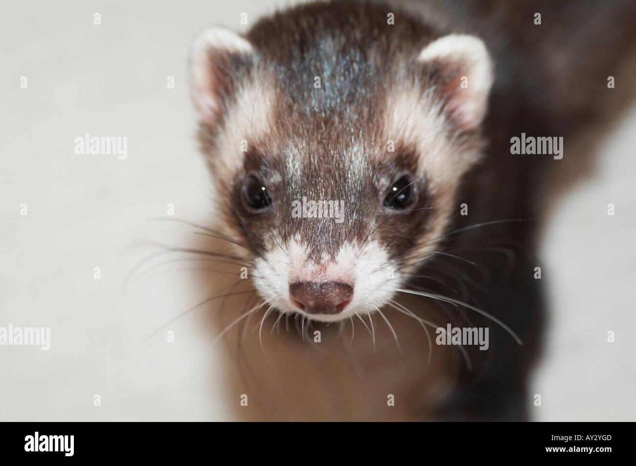 Ferret Ferrit Pet Tame Polecat Family Northern