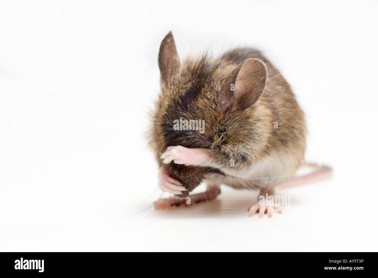 Image gallery mouse crying for Field mouse cartoon