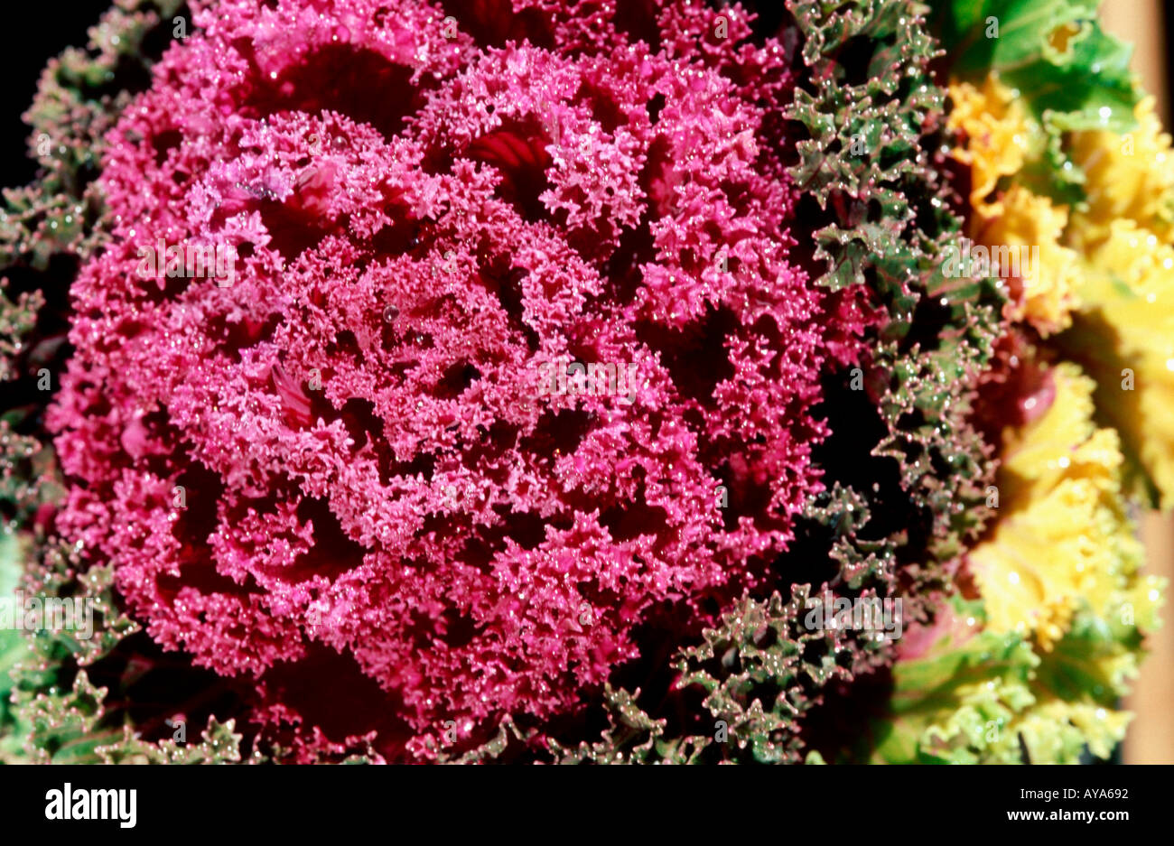 Gartenpflanzen  Ornamental Cabbage Brassica aleracea var cruciferae Zierkohl Stock ...