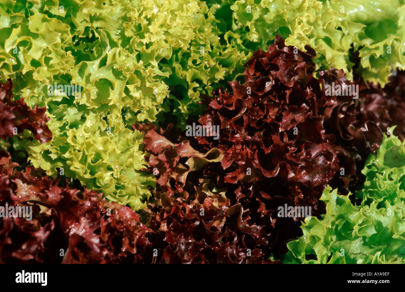 lettuce lollo rosso salat background gemuese vegetable nahrungsmittel stock photo royalty free. Black Bedroom Furniture Sets. Home Design Ideas