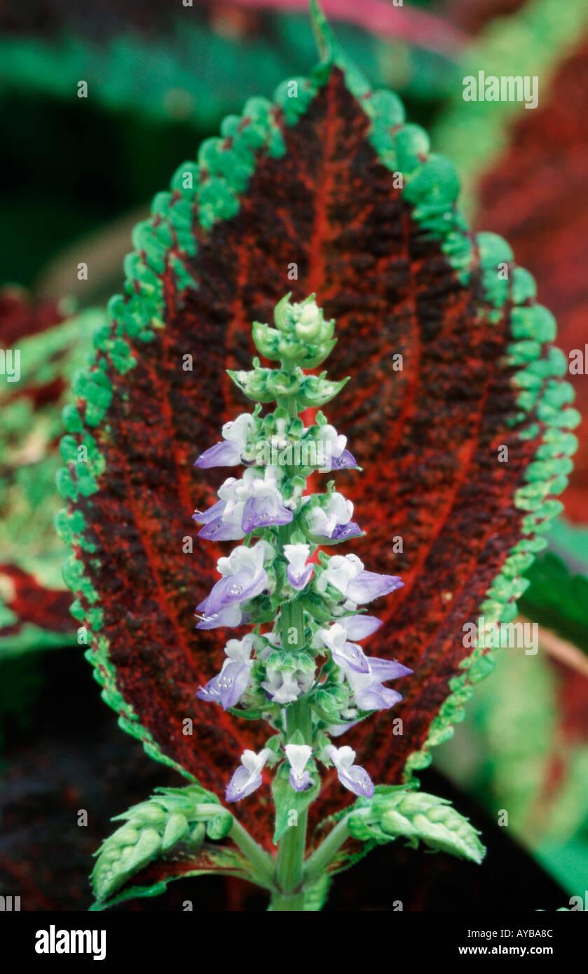 painted nettle coleus blumei buntnessel blumen flowers ... - Gartenpflanzen