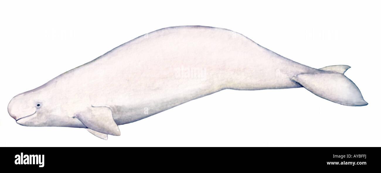 beluga white whale delphinapterus leucas drawing