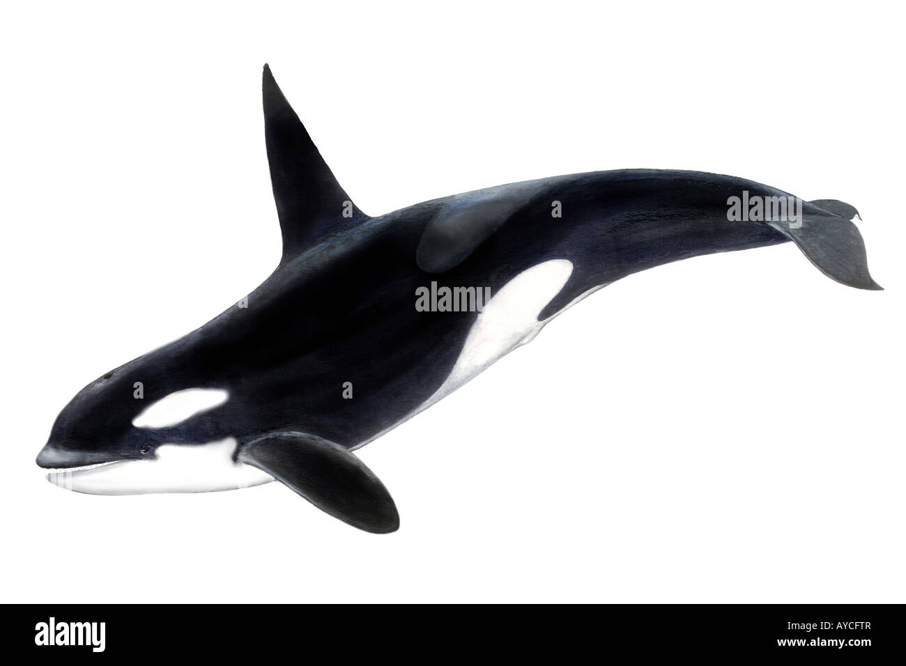Uncategorized How To Draw An Orca Whale orca whale killer orcinus male drawing stock photo drawing