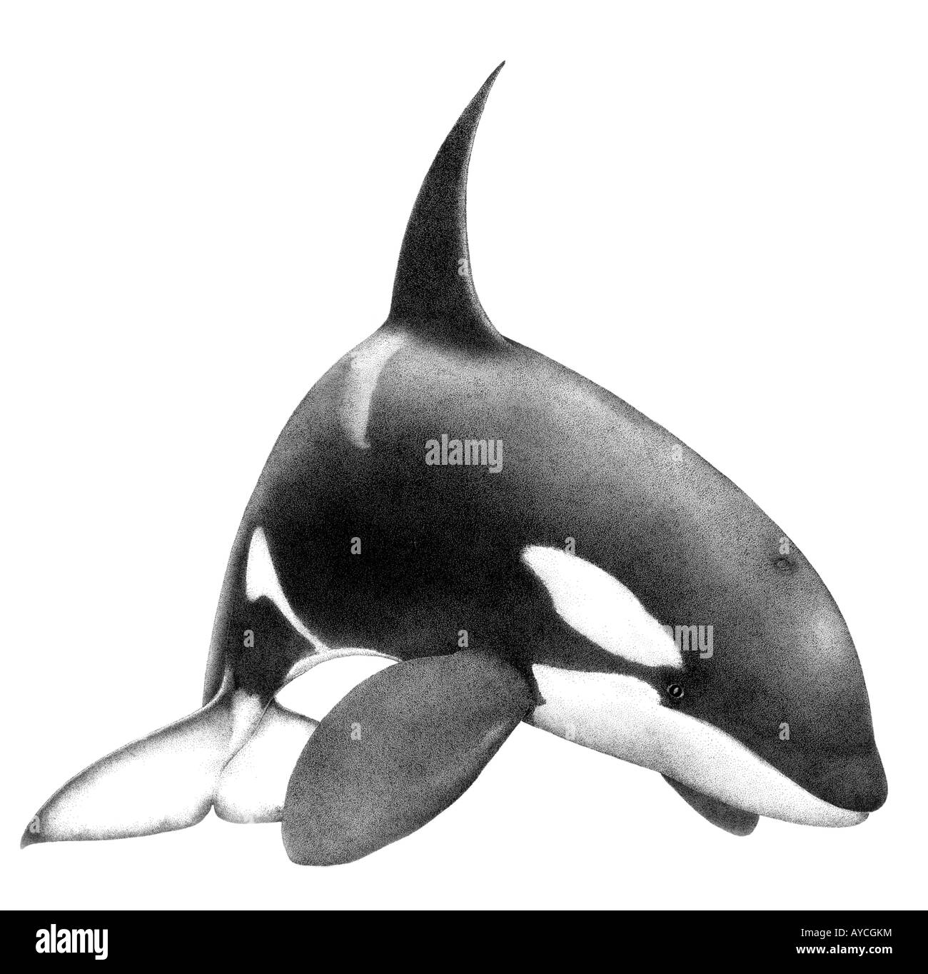 Uncategorized How To Draw An Orca Whale orca whale killer orcinus drawing stock photo drawing