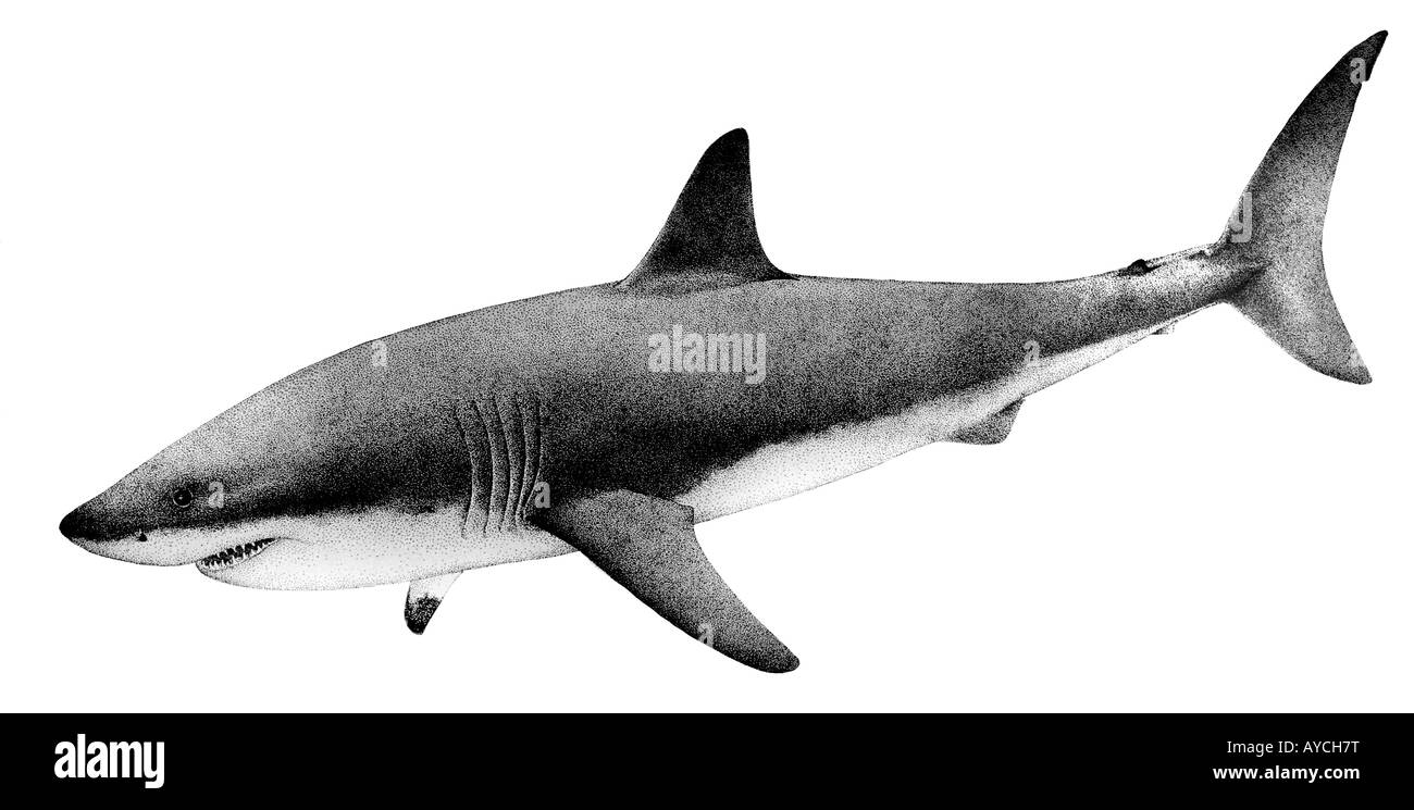carcharodon carcharias great white shark Teeth of the extinct shark carcharodon hastalis have been found in most miocene in which the great white, carcharodon carcharias is more closely related to.