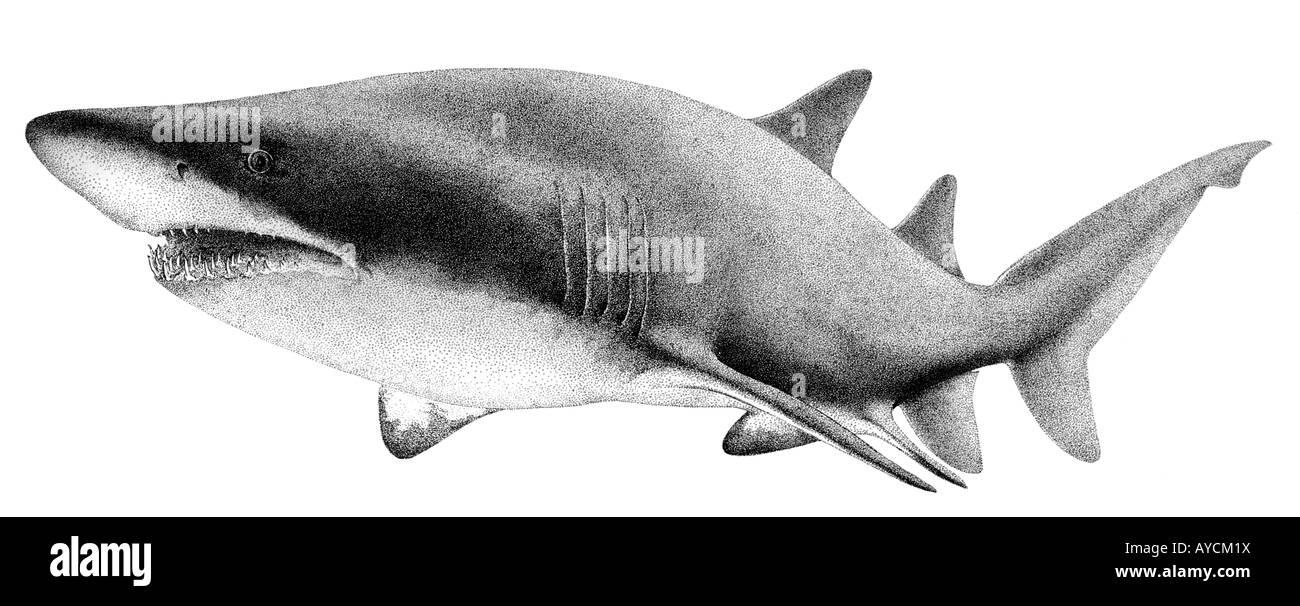 sand tiger shark grey nurse shark odontaspis taurus. Black Bedroom Furniture Sets. Home Design Ideas