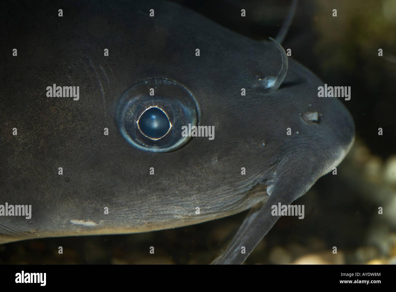 Ameiurus melas pesce gatto nero siluriformi pesci acqua for Pesce pulitore acqua dolce