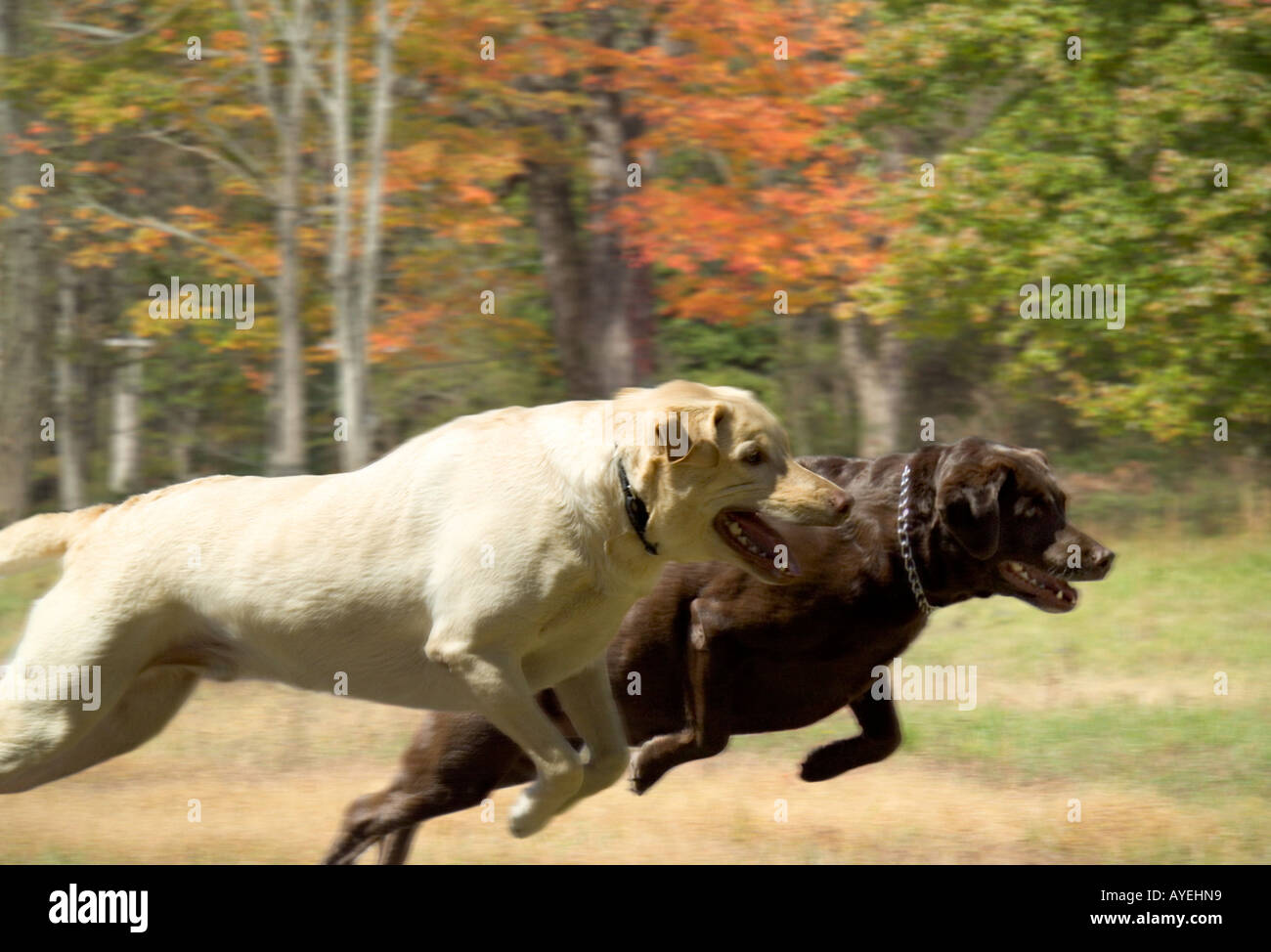 Mature Yellow and Chocolate Labrador Retriever dogs running ...