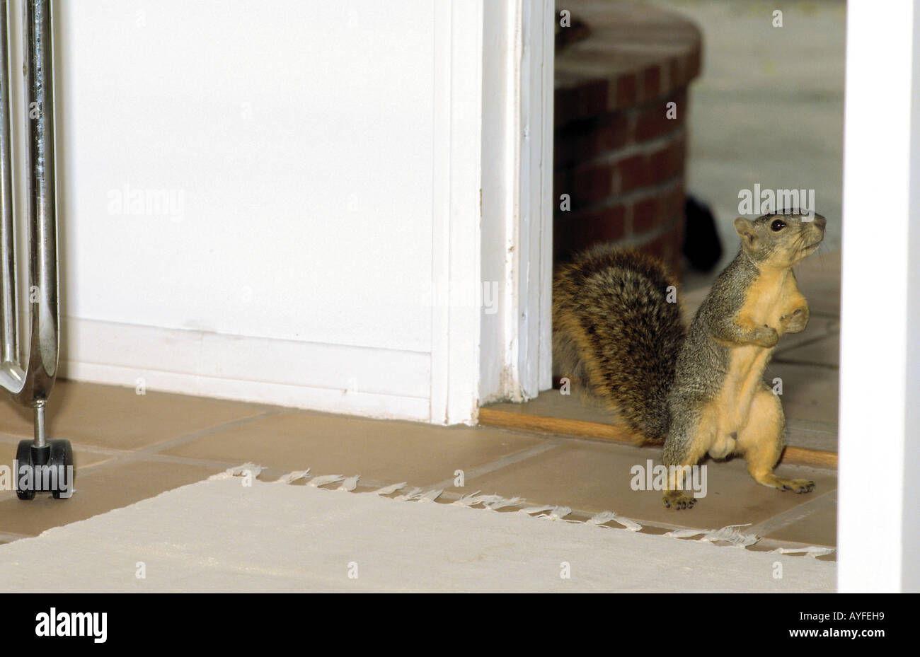American Fox Squirrel showing up at open door expecting another fine peanut & American Fox Squirrel showing up at open door expecting another fine ...