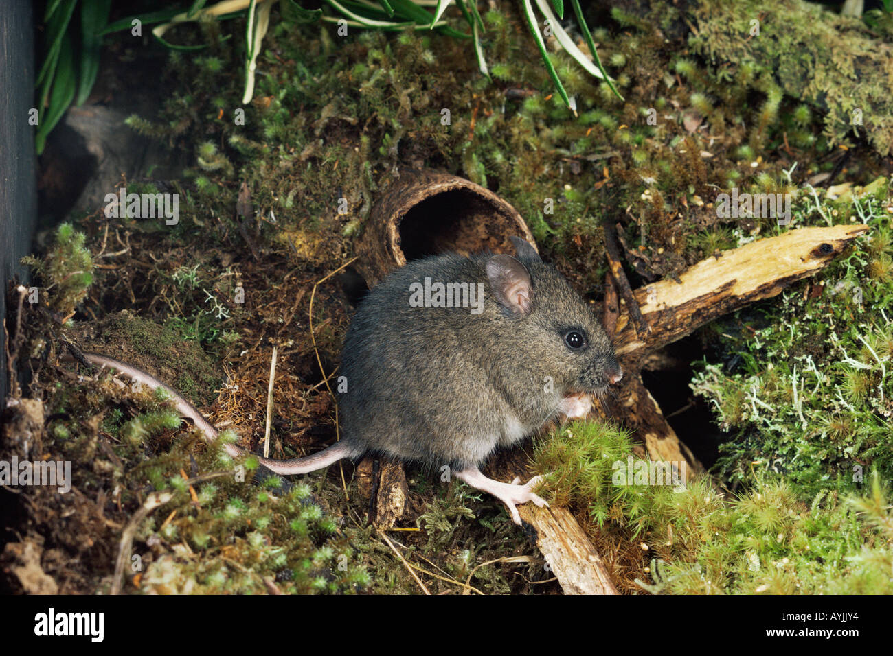 http://c8.alamy.com/comp/AYJJY4/long-tailed-mouse-pseudomys-higginsi-tasmanian-endemic-photographed-AYJJY4.jpg