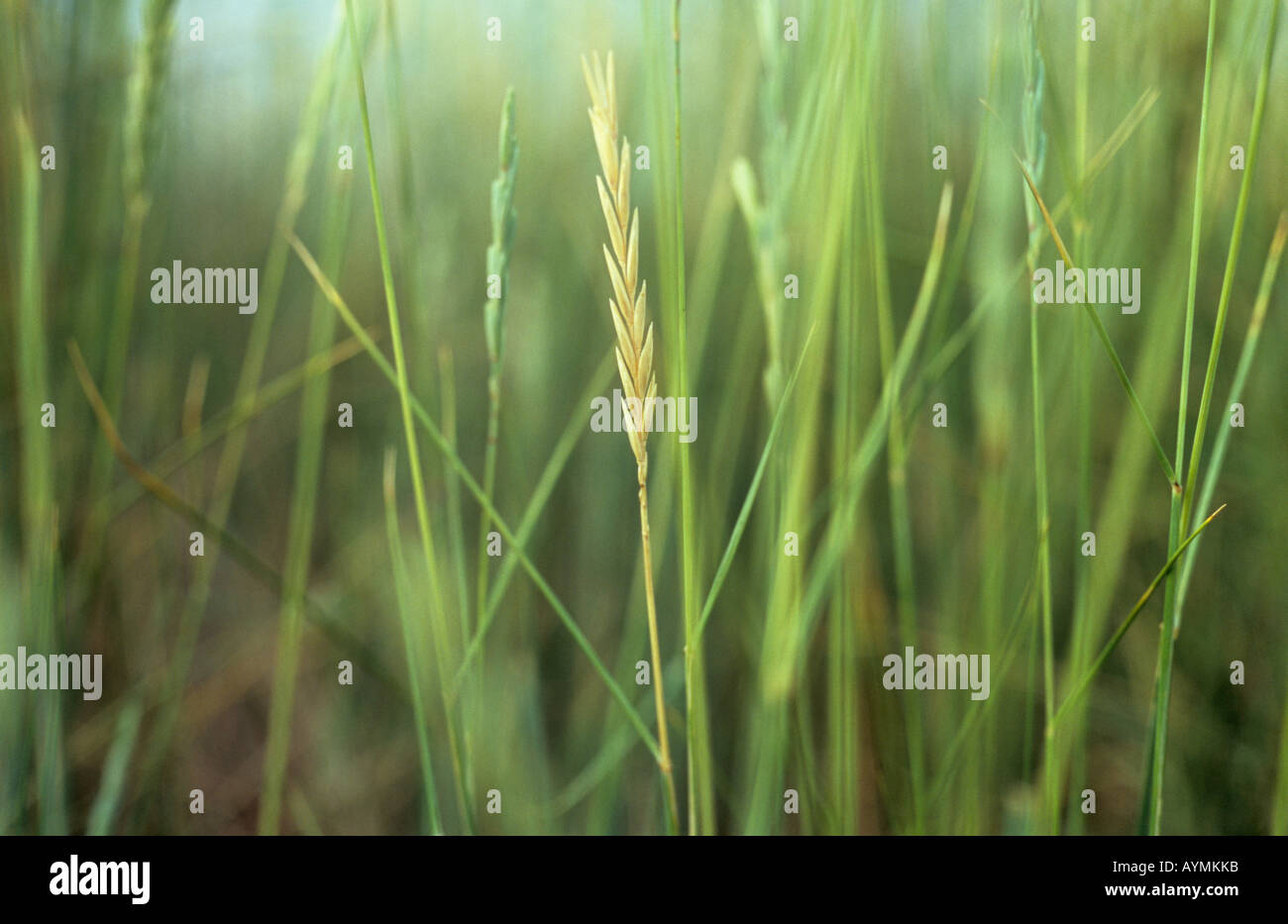 Grass Couch Close Up Of Blue Green Stems And Seedheads Of Sea Couch Grass Or
