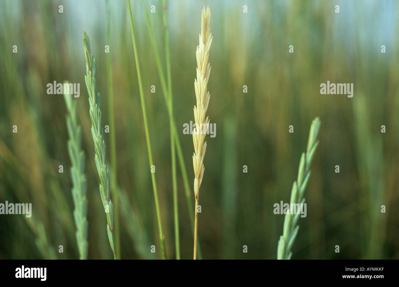 Grass Couch Sand Couch Grass Stock Photos Sand Couch Grass Stock Images Alamy