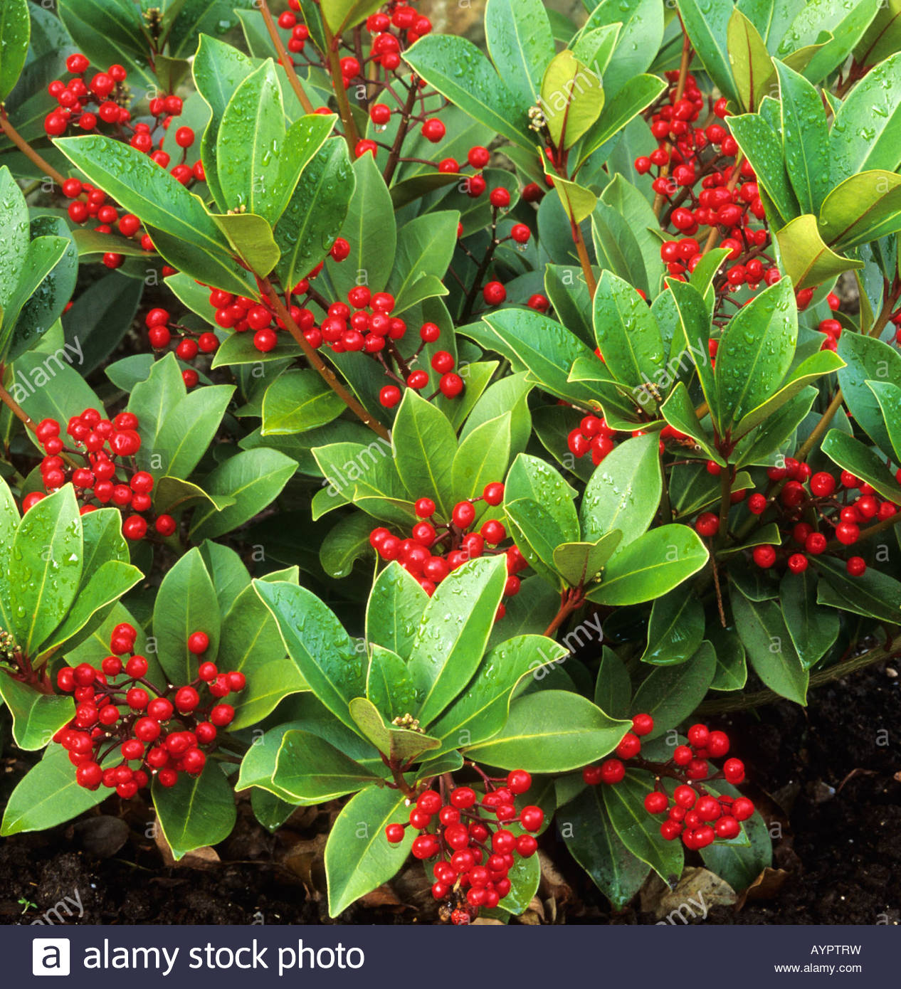 skimmia japonica subsp reevesiana stock photo royalty. Black Bedroom Furniture Sets. Home Design Ideas