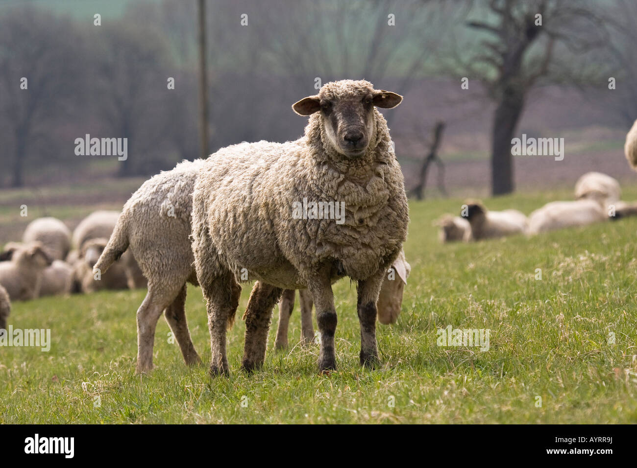 Baby Merino Sheep
