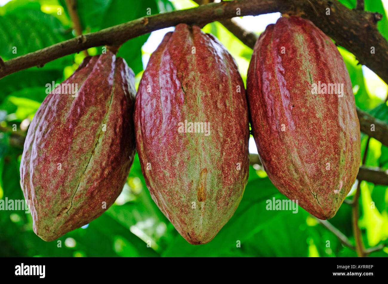 how to eat cacao fruit