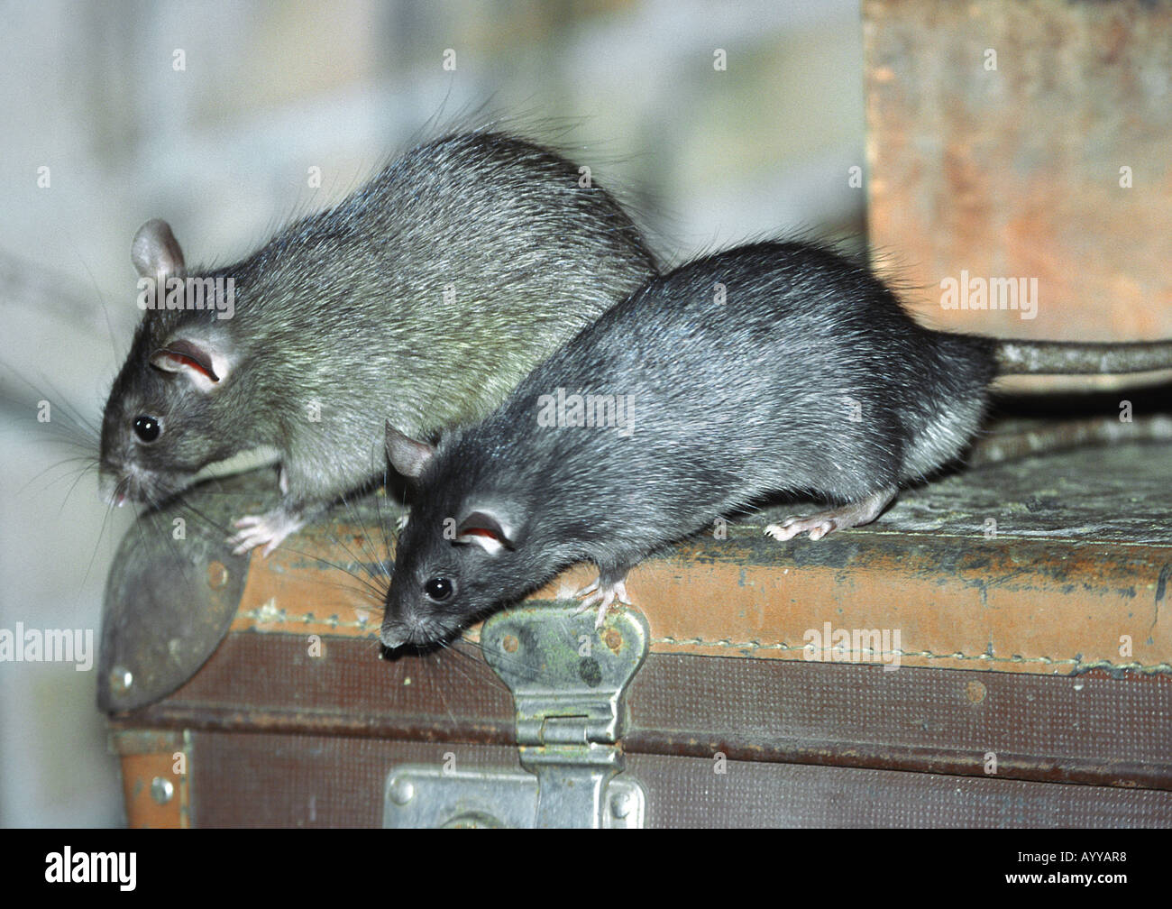 Black Rat, Roof Rat, House Rat, Ship Rat (Rattus Rattus), Two Animals On An  Old Suitcase