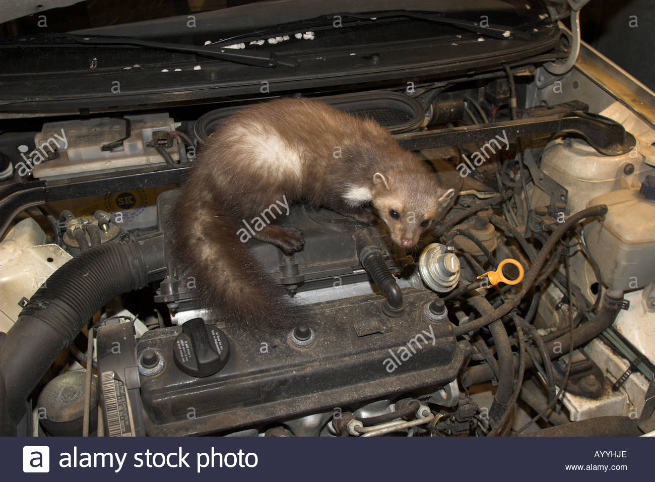 beech marten stone marte martes foina in the engine compartment stock photo royalty free. Black Bedroom Furniture Sets. Home Design Ideas