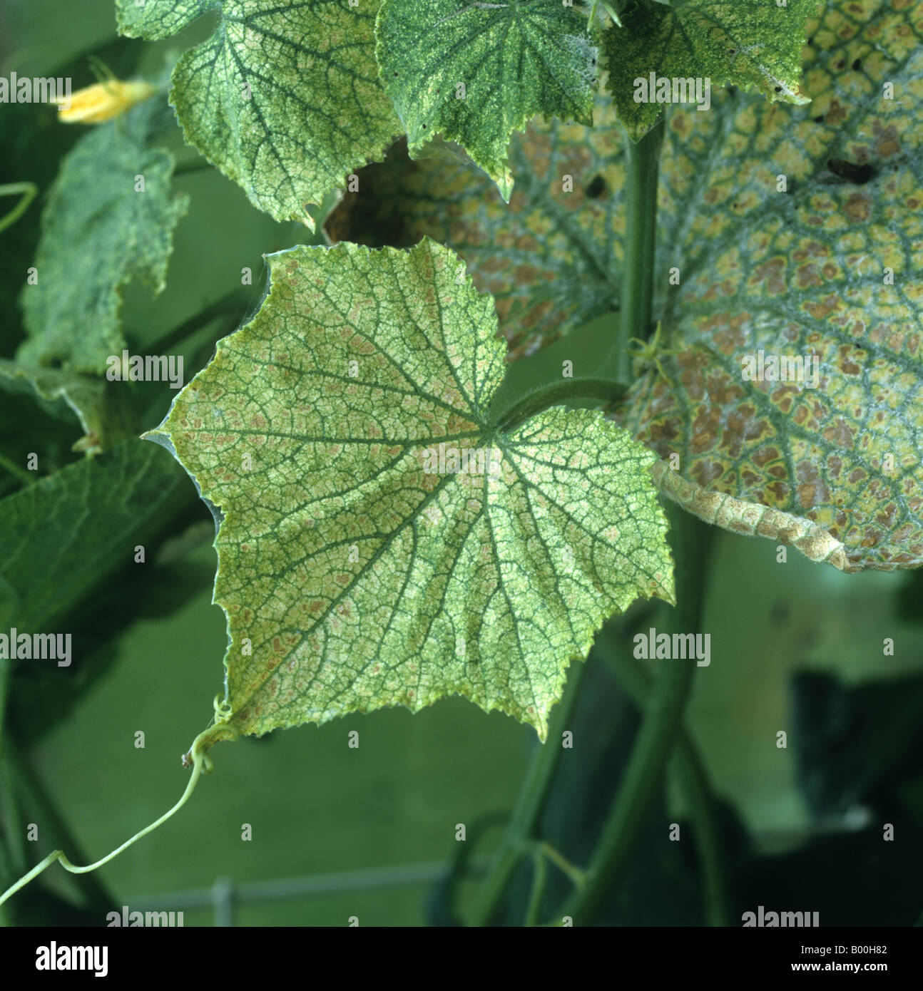 studies on tetranychus urticae two spotted spider mite Different populations of two spotted spider mite, tetranychus urticae koch, (acari: tetranychidae) on cucumber in jordan this study showed the results of.