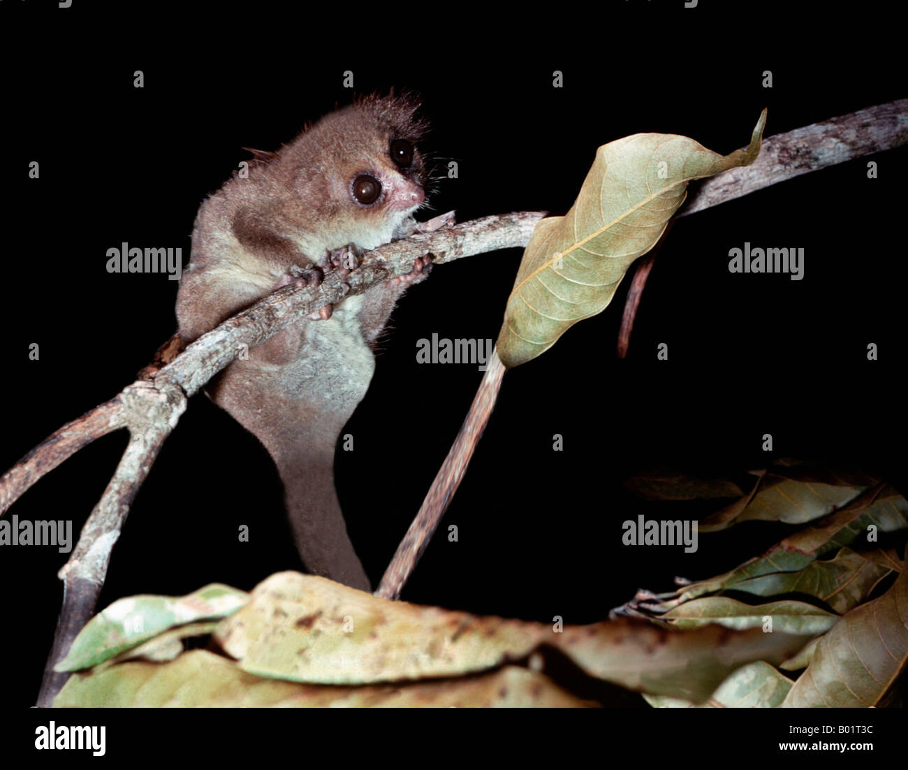 allocebe cheirogale aux oreilles velues allocebus trichotis hairy eared dwarf lemur madagascar affen halbaffen lemuren