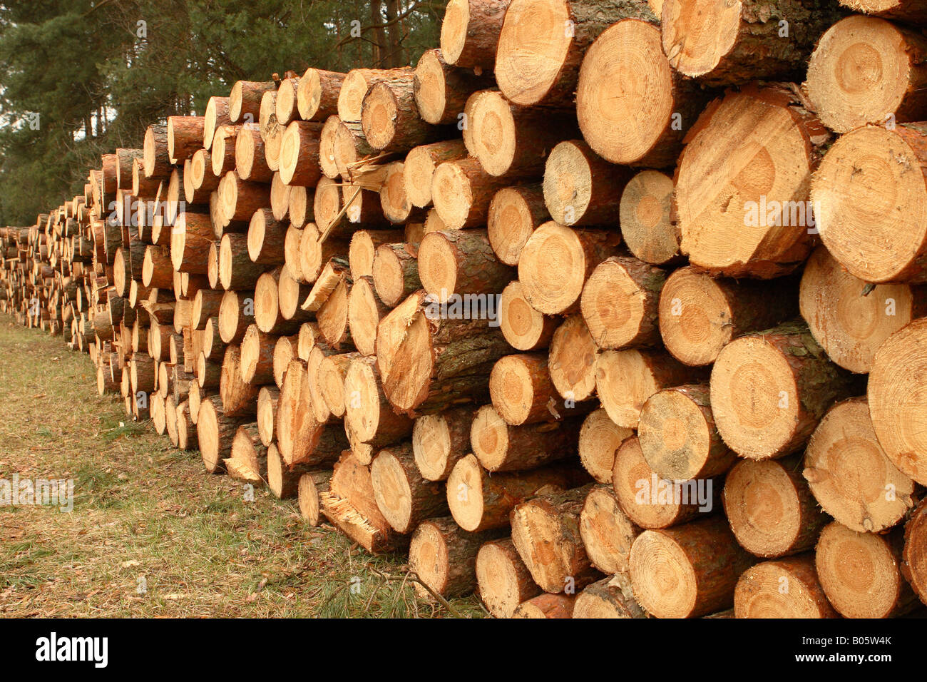 Good Pine Tree Timber #2: Cut Red Pine Tree Trunk Timber Lumber Logs Stacked In Forest Clearing
