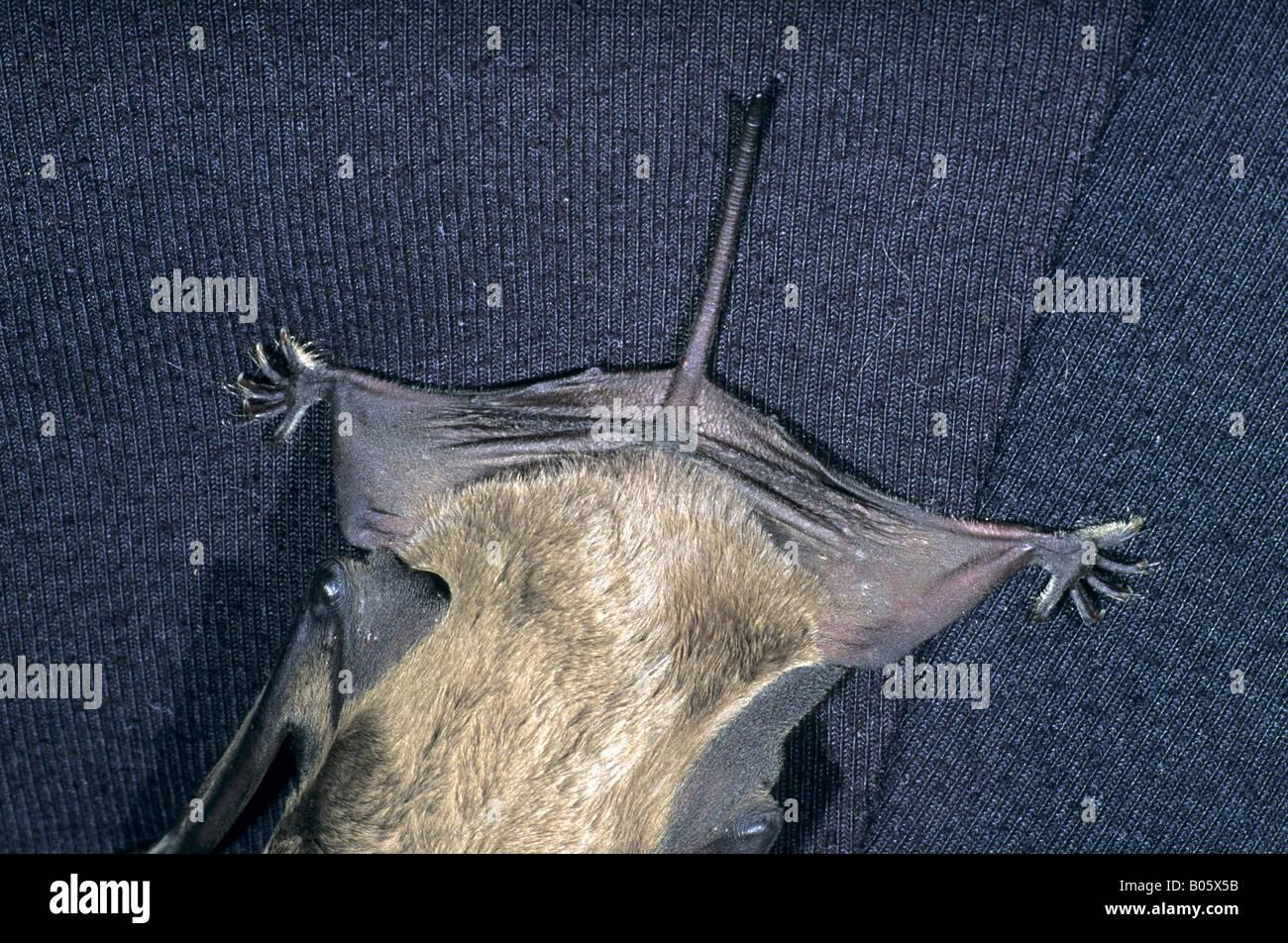 european free tailed bat tadarida teniotis showing detail of tail