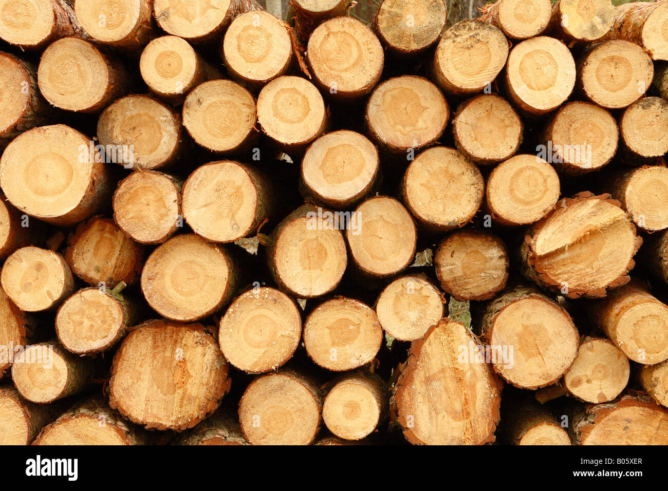 Cut red pine tree trunk timber lumber logs stacked in Pine tree timber