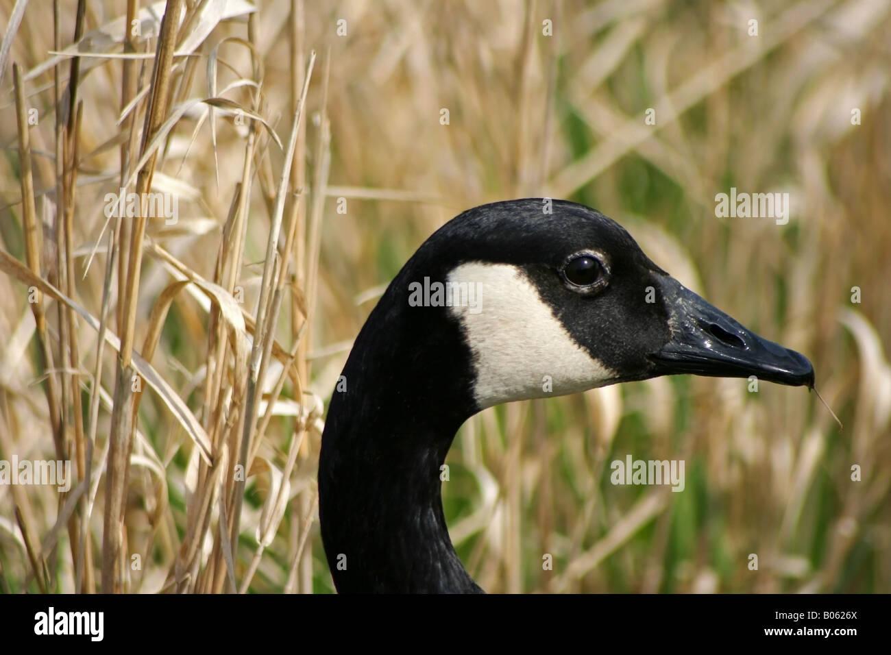 Canadian goose head close up george c reifel migratory bird canadian goose head close up george c reifel migratory bird sanctuary biocorpaavc