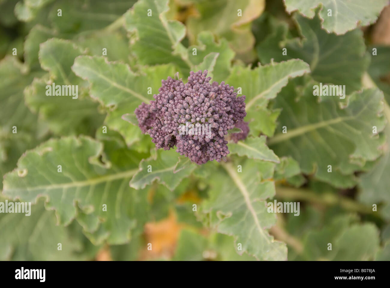 how to grow purple sprouting broccoli