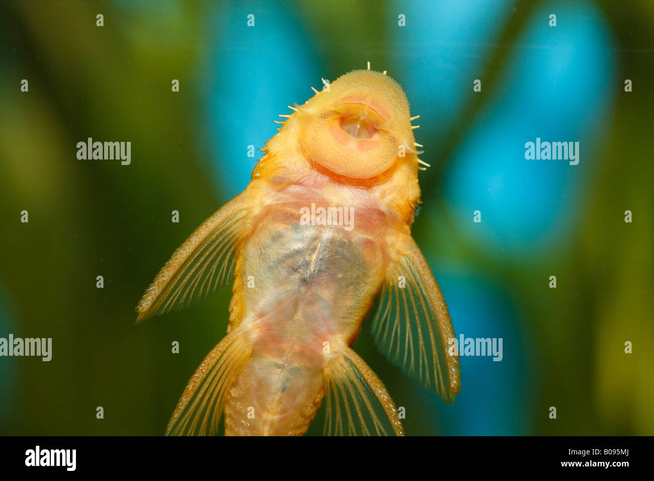 Freshwater fish tank yellow water - More Similar Stock Images Of Pleco Yellow Ancistrus Ancistrus Sp Temminickii L 144 Young Fish Warm Water Freshwater Aquarium
