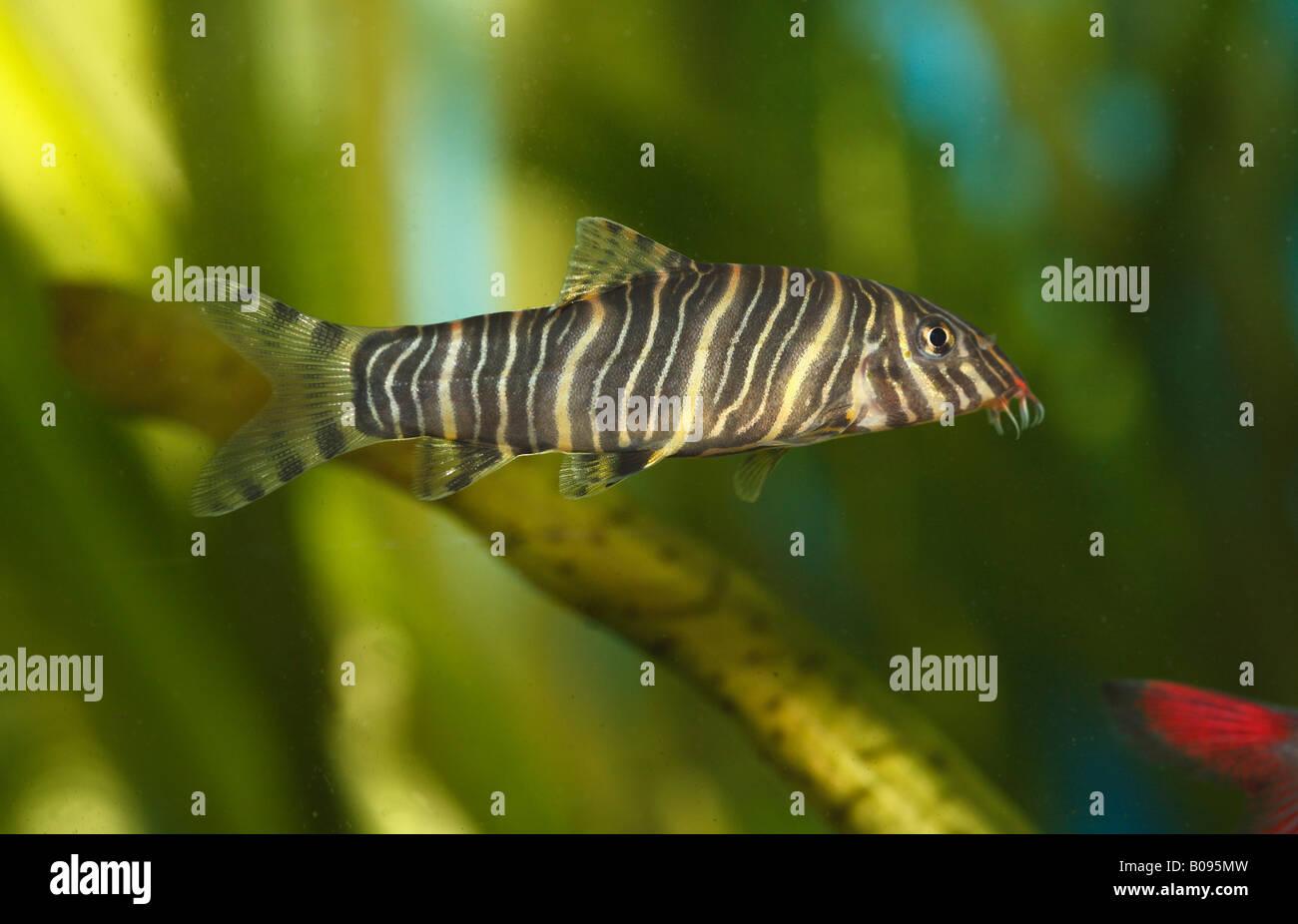 Freshwater aquarium fish loach - Zebra Loach Botia Striata Native To India Warm Water Freshwater Aquarium