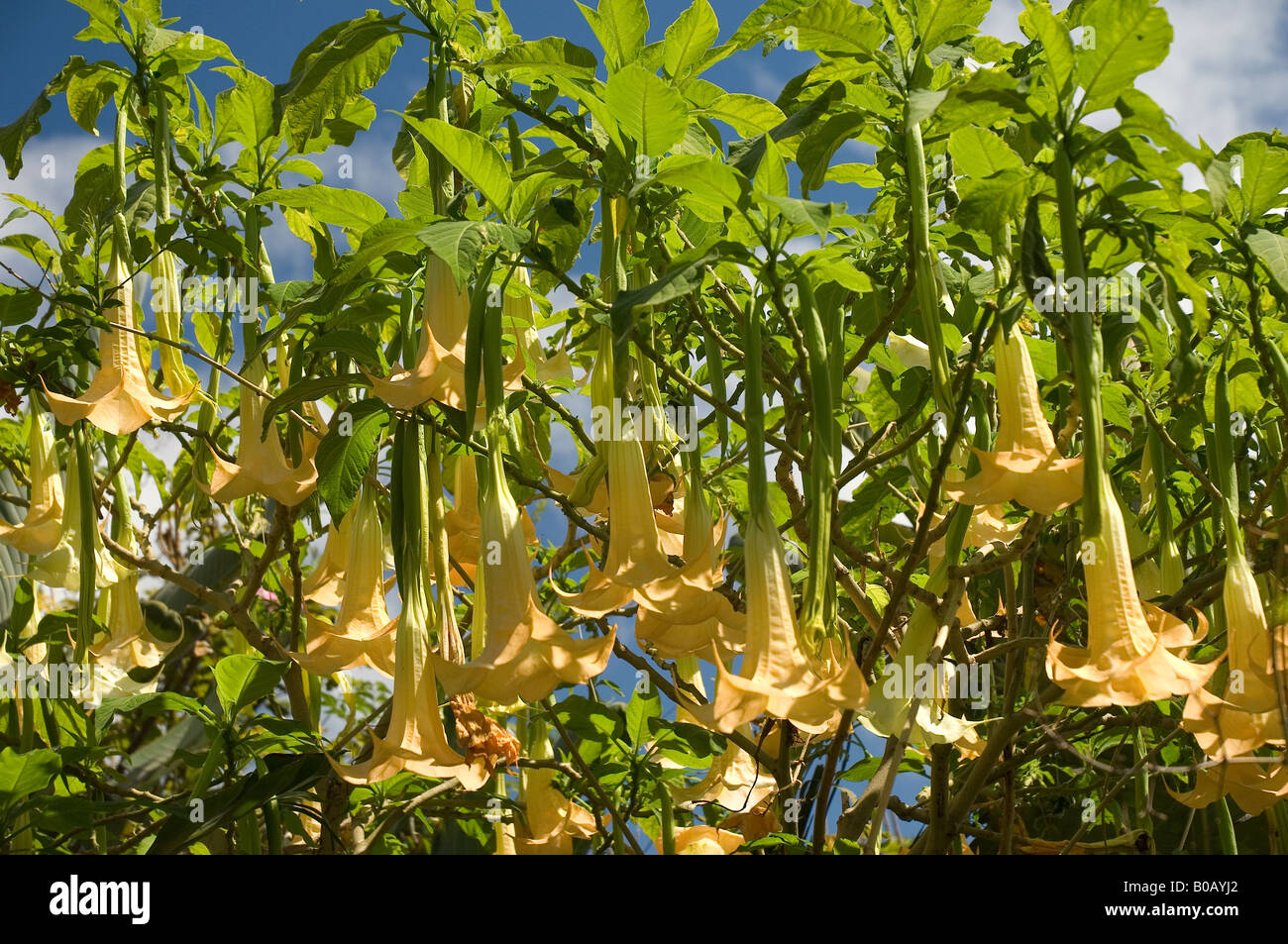 Angel trumpet plant latin brugmansia Madeira Portugal EU Europe Stock