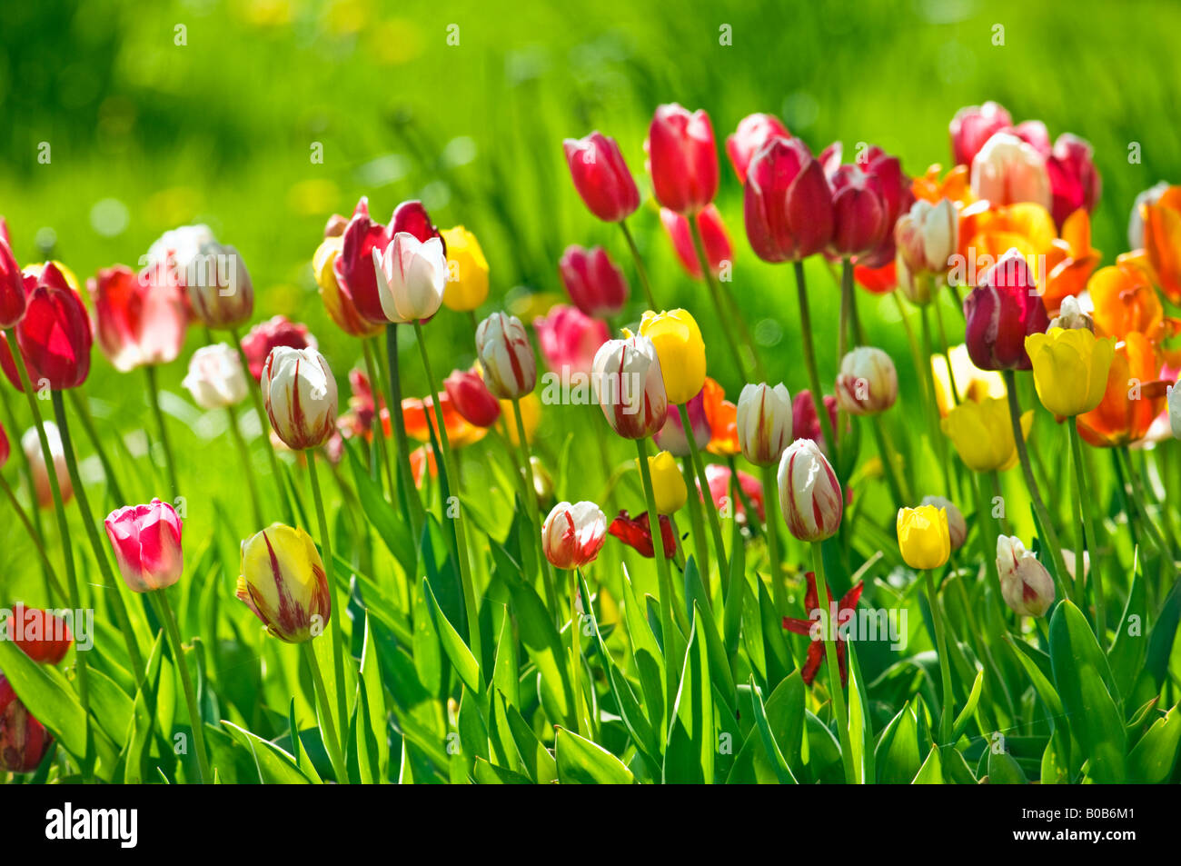 Stock Photo   TULIP FIELD Flower Garden Flowers Springtime Spring Plant  Plants Green Yellow Blue Red
