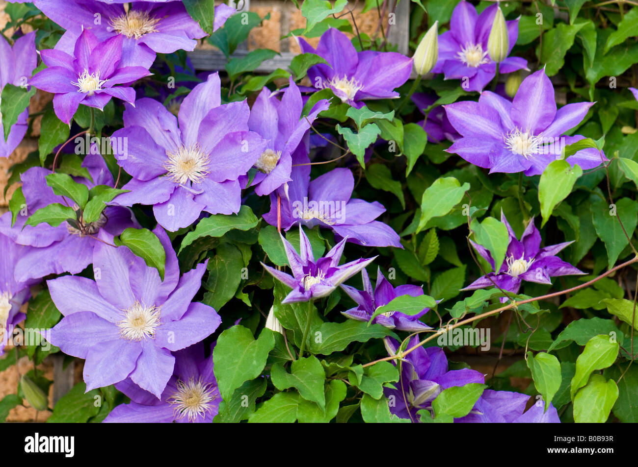 a purple clematis vine in full bloom climbs a trellis in a flower garden oklahoma usa