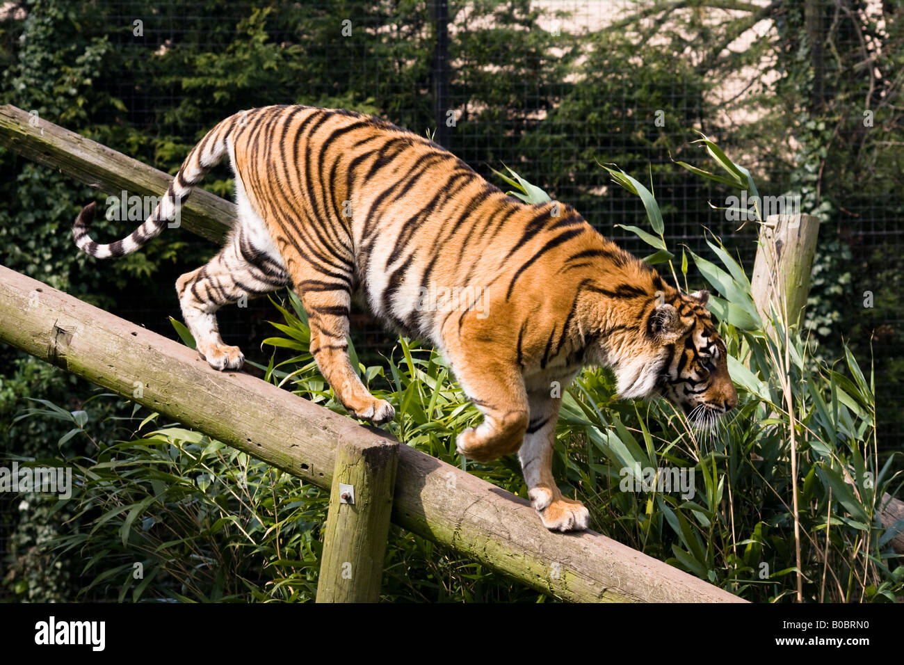 Tiger climbing down a log at Thrigby Zoo - Norfolk Stock ...