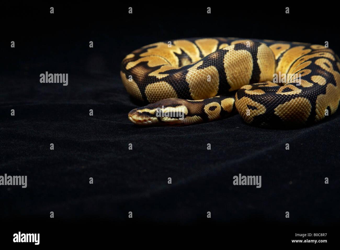 Royal Python Coiled On The Floor