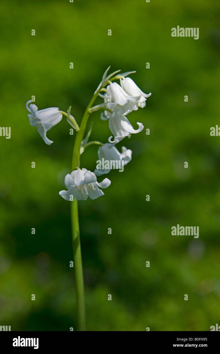 White bluebell flowers in scotland in spring stock photo 17553233 white bluebell flowers in scotland in spring mightylinksfo Gallery