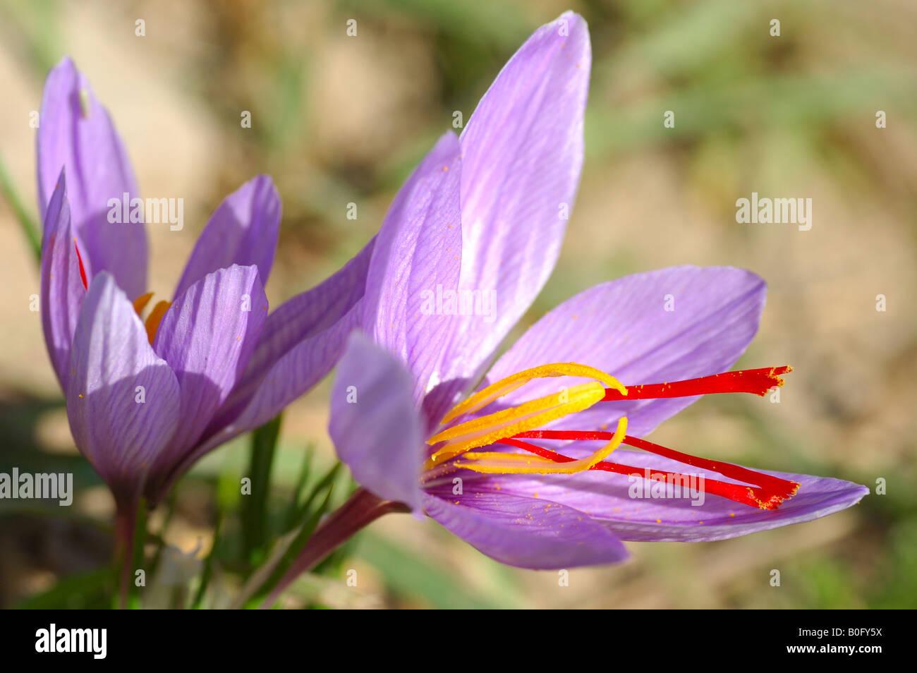 31fa7eccc6ac9c crocus sativus - Ecosia