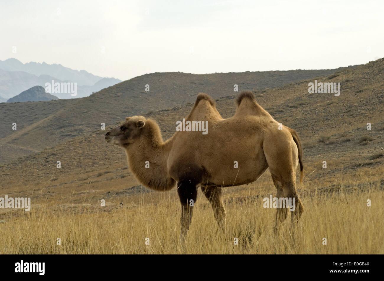 Bactrian Camel Or Two Hump Camelus Bactrianus In Desert Xinjiang China
