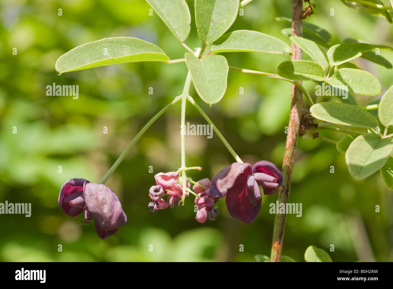 Chocolate vine, Akebia quinata flower and leaves. A spring ...
