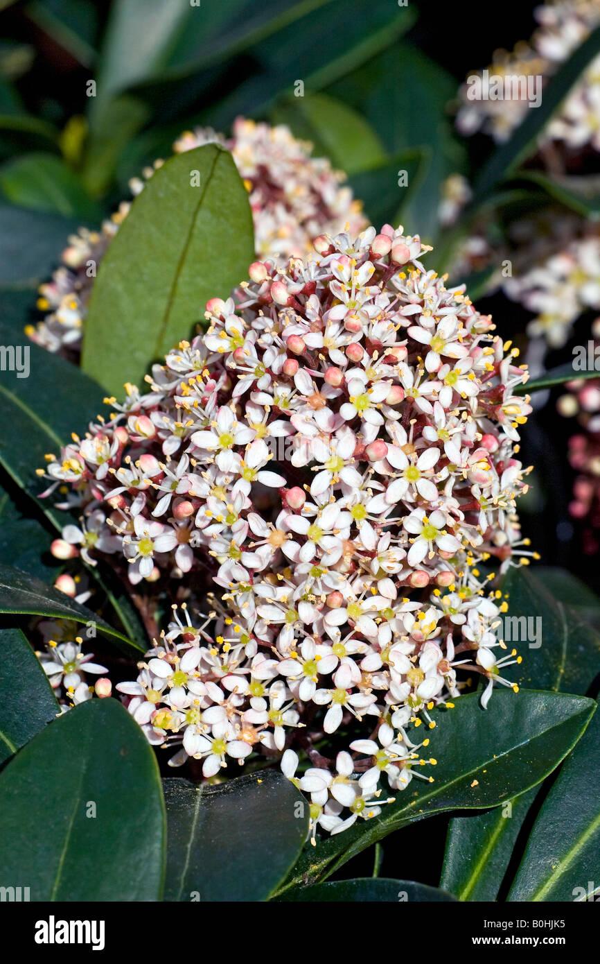blossoming japanese skimmia skimmia japonica rubella. Black Bedroom Furniture Sets. Home Design Ideas