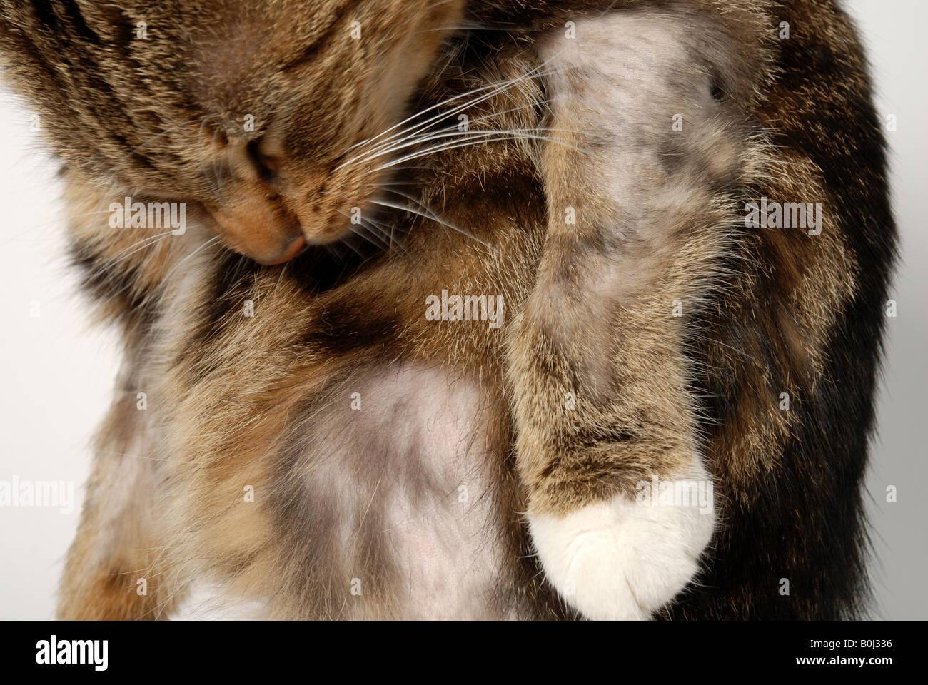 Cat miliary dermatitis photos M: Customer reviews: Virbac Keratolux